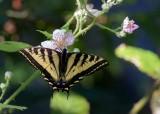 SwallowtailBlackberryBlossoms062118.jpg
