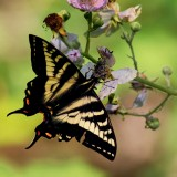 SwallowtailBlackberryBlossoms062118_2.jpg
