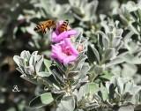Desert Bees