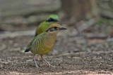 Bar-bellied Pitta, Male and Female.