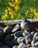 Mourning Dove blending into the rocks