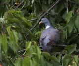 Wood Pigeon, Kiskunsag NP, Hungary