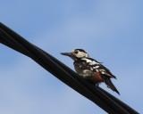 Syrian Woodpecker, Kiskunsag NP, Hungary