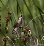 Savi's Warbler, Kiskunsag NP, Hungary
