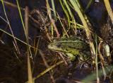 Marsh Frog, Sporovo Reserve, Belarus