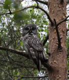 Great Gray Owl, Sporovo Reserve, Belarus