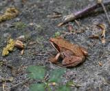 Frog, Sporovo Reserve, Belarus