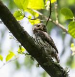 Eurasian Pygmy Owl, Belowezhskaya Pushcha NP, Belarus