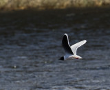 Little Gull, Oulu, Finland