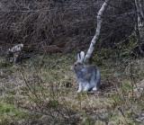 Arctic Hare, Oulu, Finland