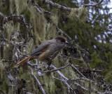 Siberian Jay, Kuusamo, Finland.jpg