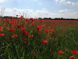 Fields of poppies (Hungary)