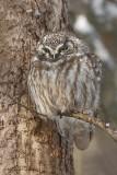 Nyctale de Tengmalm_7177 - Boreal Owl