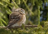 Petite Nyctale _Y3A5183 - Northern Saw-whet Owl