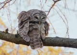 Chouette rayée_Y3A3507 - Barred Owl