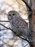 Chouette rayée_Y3A4090 - Barred Owl