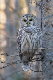 Chouette rayée_Y3A4214 - Barred Owl