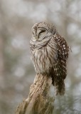 Chouette rayée_Y3A3683 - Barred Owl