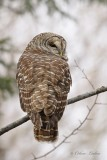 Chouette rayée_Y3A4343 - Barred Owl