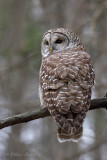 Chouette rayée_Y3A4513 - Barred Owl