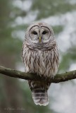 Chouette rayée_Y3A4485 - Barred Owl
