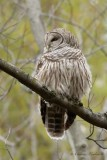 Chouette rayée_Y3A3240 - Barred Owl