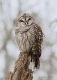 Chouette rayée_Y3A3685 - Barred Owl