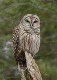 Chouette rayée_Y3A3740 - Barred Owl