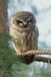 Petite Nyctale_Y3A4854 - Northern Saw-whet Owl
