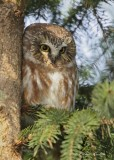 Petite Nyctale_Y3A4889 - Northern Saw-whet Owl