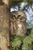 Petite Nyctale_Y3A4882 - Northern Saw-whet Owl