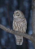 Chouette rayée_Y3A5001 - Barred Owl