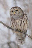 Chouette rayée_Y3A5143 - Barred Owl