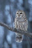 Chouette rayée_Y3A4984 - Barred Owl