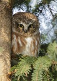 Petite Nyctale_Y3A4886 - Northern Saw-whet Owl