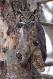 Grand Duc d'Amérique_Y3A5326 - Great Horned Owl