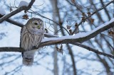 Chouette rayée_Y3A5657 - Barred Owl