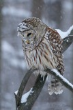 Chouette rayée_Y3A5583 - Barred Owl