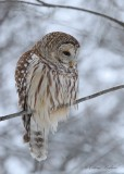 Chouette rayée_Y3A5493 - Barred Owl