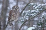 Chouette rayée_Y3A6193 - Barred Owl
