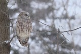 Chouette rayée_Y3A6169 - Barred Owl