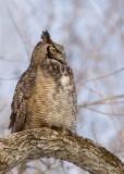 Grand Duc d'Amérique_Y3A1569 - Great Horned Owl