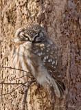 Nyctale de Tengmalm_7143 - Boreal Owl