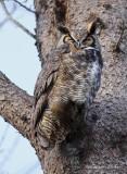 Grand Duc d'Amérique_Y3A6990 - Great Horned Owl