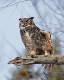 Grand Duc d'Amérique_Y3A7570 - Great Horned Owl