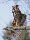 Grand Duc d'Amérique_Y3A7609 - Great Horned Owl