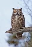 Grand Duc d'Amérique_Y3A7740 - Great Horned Owl