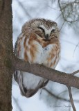 Petite Nyctale_Y3A7756 - Northern Saw-whet Owl