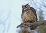 Grand Duc d'Amérique_Y3A7655 - Great Horned Owl