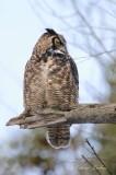 Grand Duc d'Amérique_Y3A7729 - Great Horned Owl